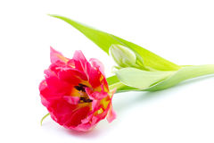 Tulipán temprano del solo doble Fotos de archivo libres de regalías
