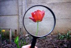 Tulipán a través de una lupa Imagen de archivo