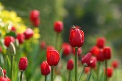 Tulipán y abeja rojos Fotografía de archivo