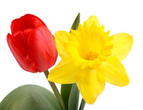 Tulipán y narciso Foto de archivo libre de regalías