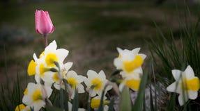 Tulipán y narciso rosados Fotografía de archivo libre de regalías