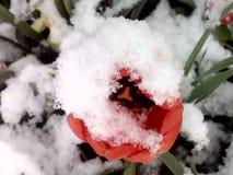 Tulipán y nieve rojos Fotografía de archivo libre de regalías