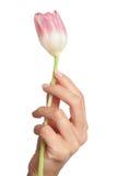 Tulip à disposicão Fotos de Stock