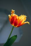 Tulip 1. Lonely tulip in the sun Royalty Free Stock Photos