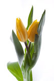 Tulip. Drops on yellow tulips sensually twisted Royalty Free Stock Images