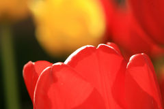 Tulip. The symbol of spring tulips and their colorful tones Royalty Free Stock Photos