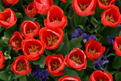 Tulip. Red yellow tulip popular garden flowers Stock Photography
