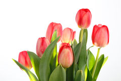 Tulip. A bunch of tulips isolated on white background Royalty Free Stock Photo