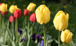 Tulip. Flower stock photo