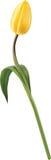 Tulip. Yellow tulip isolated on white Royalty Free Stock Photo