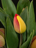 Tulip. Red and yellow tulip stock images