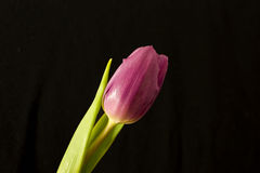 Tulip Foto de Stock Royalty Free