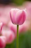Tulip Foto de Stock