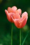 Tulip Imagens de Stock