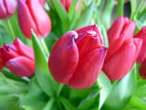 Tulip. Bright Dutch tulips in the spring Royalty Free Stock Photography