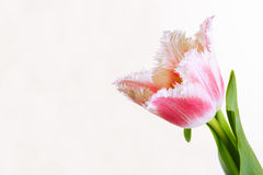 Tulip. Beautiful pink tulip in full bloom Stock Photos