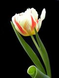 Tulip Fotografia de Stock Royalty Free