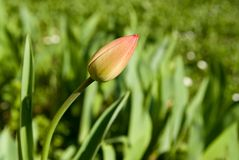 Tulip. Red tulip flower bud in the grass Stock Photography