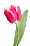 Tulip. Pink spring flower/tulip against the white background Royalty Free Stock Photography