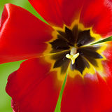 Tulip. The big red tulip on a green background, extreme close-up Stock Photo