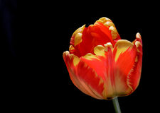 Tulip Imagens de Stock Royalty Free
