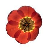 Tulip. Fotografia de Stock Royalty Free