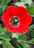 Tulip. Red tulip - close-up and top view Royalty Free Stock Image