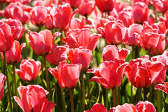 Tulip Royalty Free Stock Images