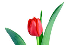 Tulip. A Single tulip isolated on white background Stock Photos