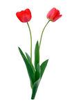 Tulip. Two red tulips on a white background royalty free stock photography