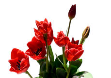 Tulip. Red tulips with white background Stock Photos