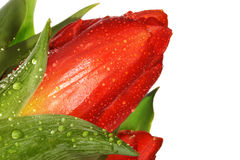 Tulip. Red Tulip flower. Close up Stock Photography
