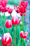 Tulip. The pink red tulip flowers in the park Royalty Free Stock Images