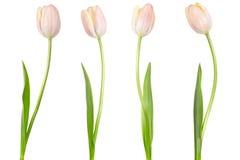 Free Tulip Royalty Free Stock Image - 19303086