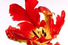 Tulip 20 Stock Image