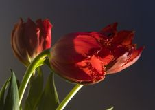 Tulip royalty free stock photo