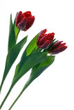 Tulip. Photo of beautiful red tulip Royalty Free Stock Photos