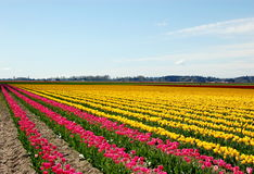 Tulip. Field in fine weather in the pacific northwest Royalty Free Stock Photography