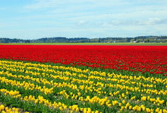 Tulip. Field in fine weather in the pacific northwest Stock Photography
