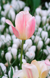 Tulip. The pink tulip among white tulips grows in a garden Royalty Free Stock Photo