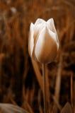 Tulip. Toned brown tulip Stock Images