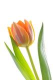 Tulip Stock Images