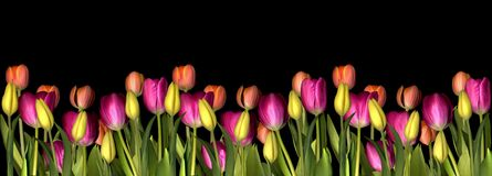 Tulip. Pink, yellow and orange tulips Royalty Free Stock Image