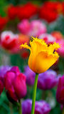 Tulip. Spring color beautiful flower tulip in sun royalty free stock images