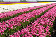 Tulip. Field full of tulips in the north of holland Royalty Free Stock Image