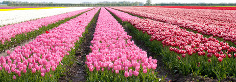 Tulip. Field full of tulips in the north of holland Royalty Free Stock Images