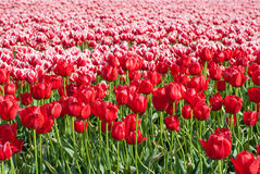 Tulip. Field full of tulips in the north of holland Stock Photos