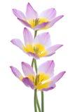 Tulip Stock Photography