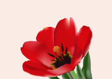 The tulip Stock Photos