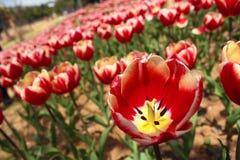 Tulip. Beautiful tulips in the Botanic Gardens Royalty Free Stock Photos